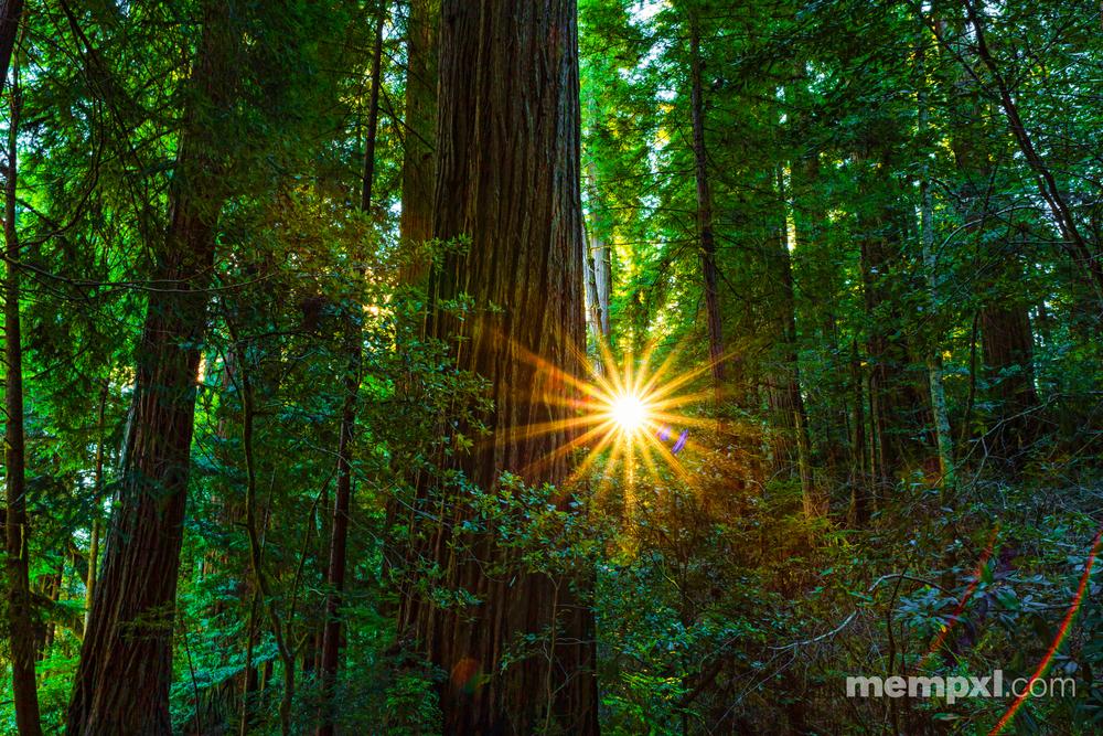 Redwoods 3 - 2015