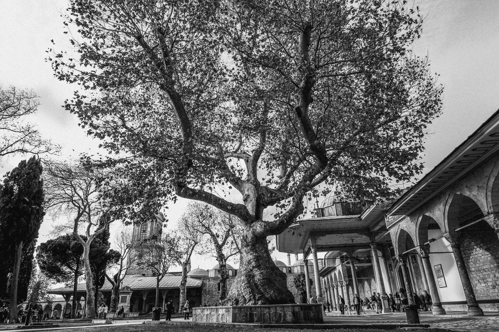 majestic tree in istanbul, turkey