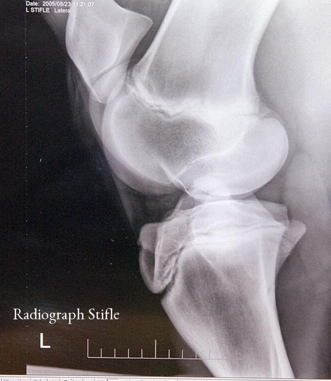Stifle Radiograph.JPG