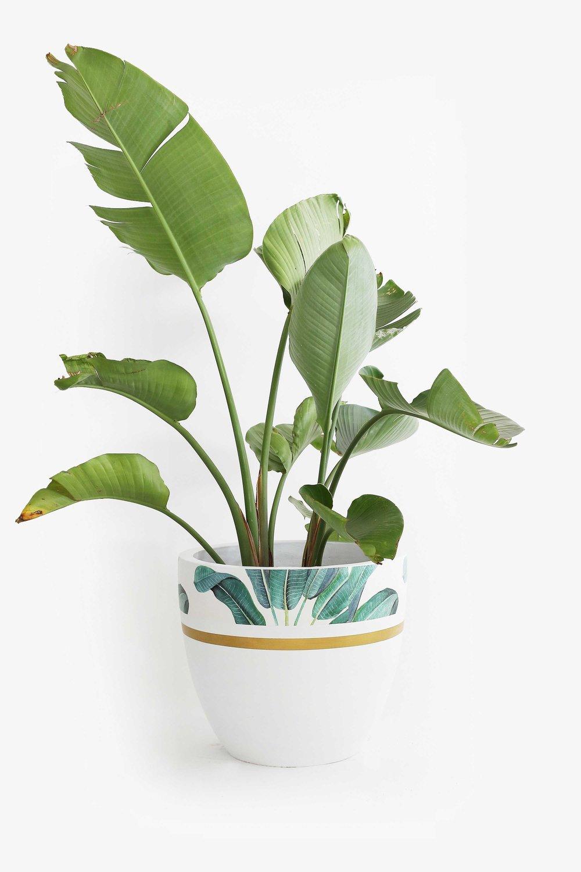 Banan-Leaves-Plant.jpg