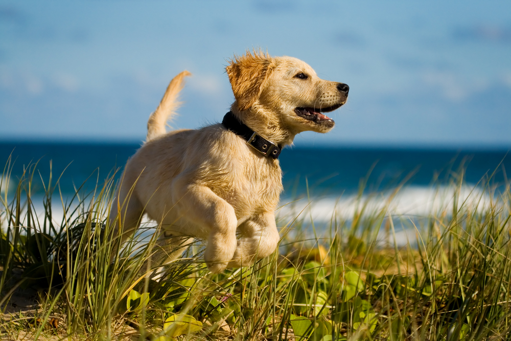A Golden Retriever puppy at the beach.