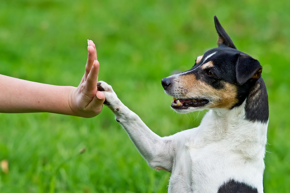 A Jack Russell terrier gives high five to a person.