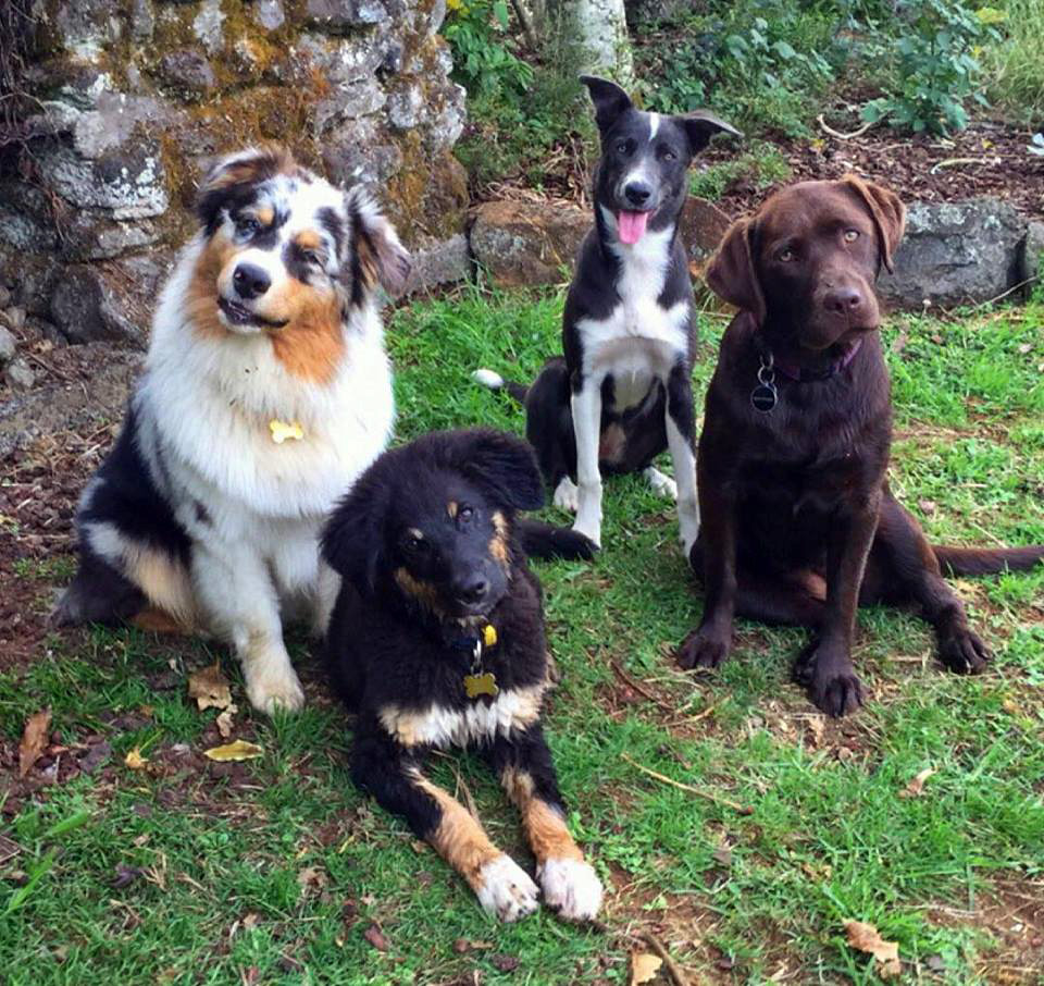 BAck row: Skiddles and Pearl (owned by Cynamon Moseley), front row: Hunter and Chloe (owned by Brad Crompton). Photo courtesy of Cynamon Moseley  Skiddles, Pearl, and Hunter graduated from puppy class in 2015/2016