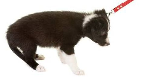 puppy-resisting-lead-pull.jpg