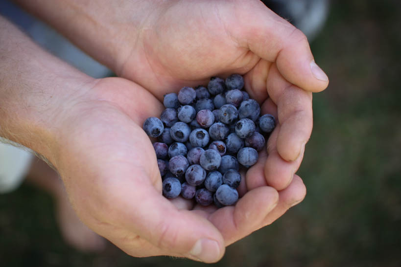 Blueberries || thinkbiglivesimply.com
