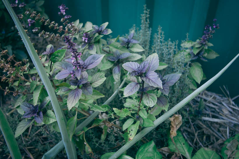 Thai Basil || thinkbiglivesimply.com
