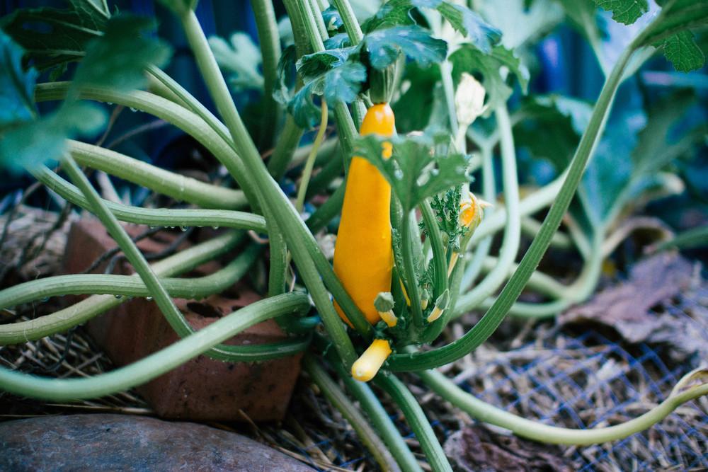 Zucchini || rebeccashann.com