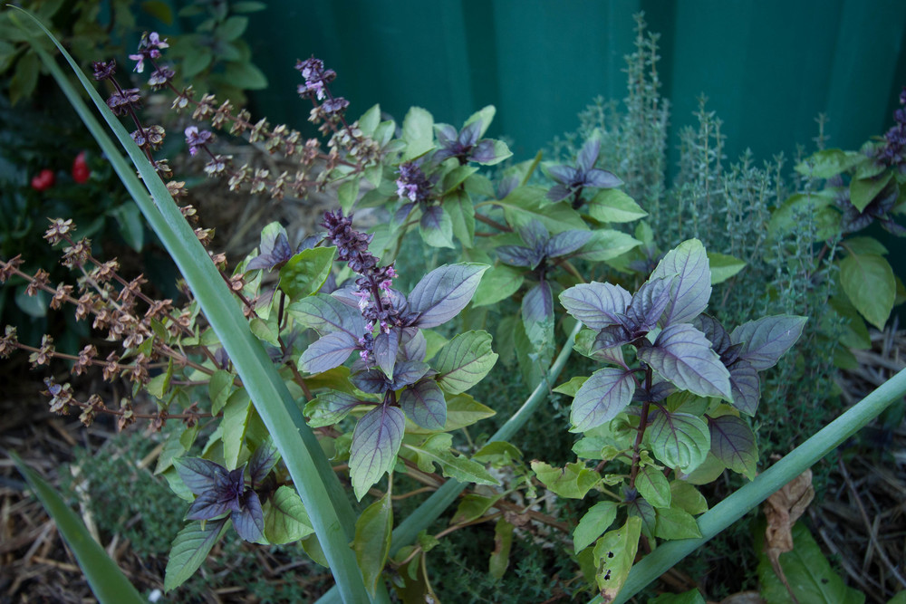 Purple Thai Basil || rebeccashann.com