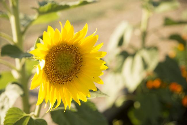 Sunflower || thinkbiglivesimply.com