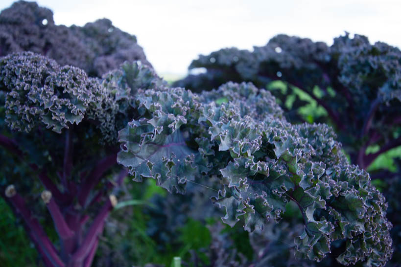 Purple Kale || thinkbiglivesimply.com
