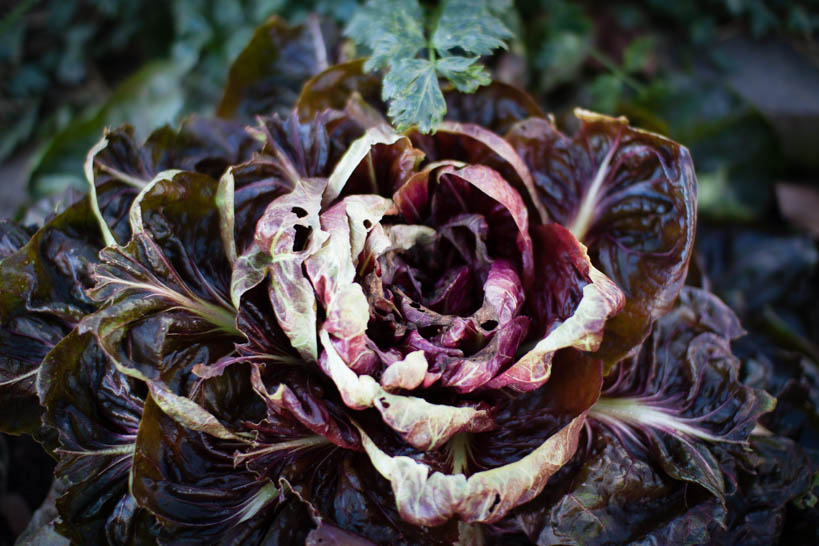 Radicchio || thinkbiglivesimply.com