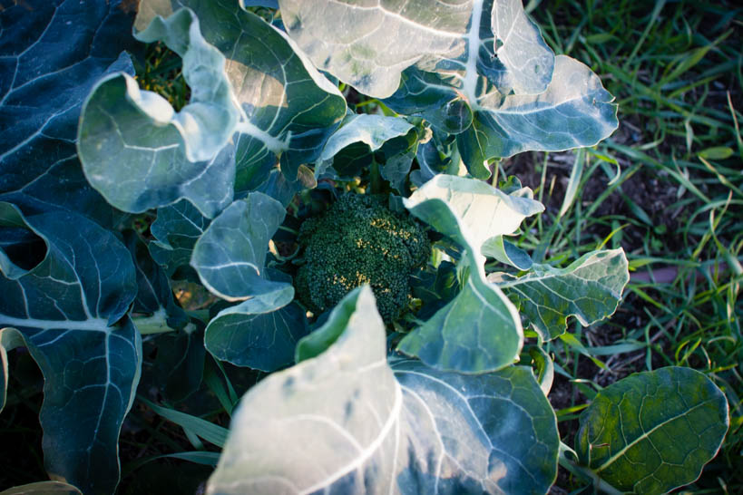 Broccoli || thinkbiglivesimply.com
