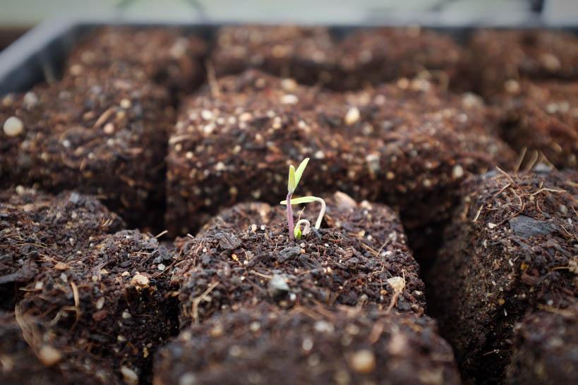 Tomato Seedling || thinkbiglivesimply.com