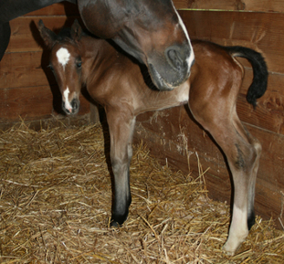 1/2 Thoroughbred filly