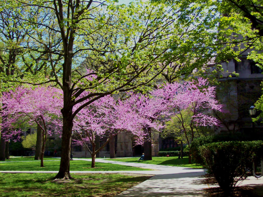 The redbud trees in the quads at the U. of C. are beautiful in May.