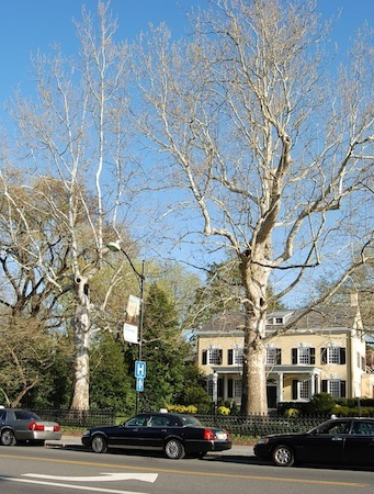 Two large London Plane trees in front of yellow house on Nassau Street, Princeton