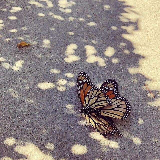 Sex is everywhere, I mean love  #vesselandsoul #butterfly #lovers #love #beauty