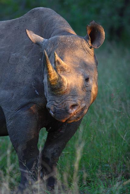 Animals - Black Rhino.jpg