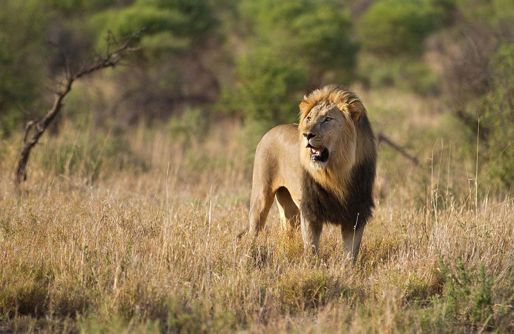 wildlife-lion-sabi-sands-large.jpg