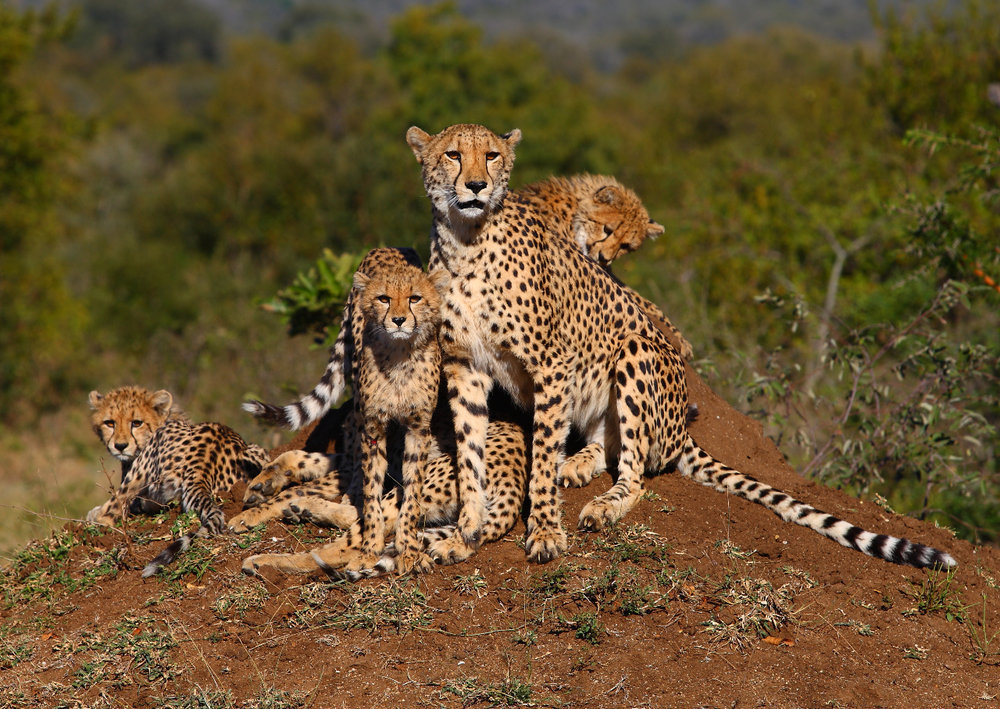 Animals - Cheetah.jpg