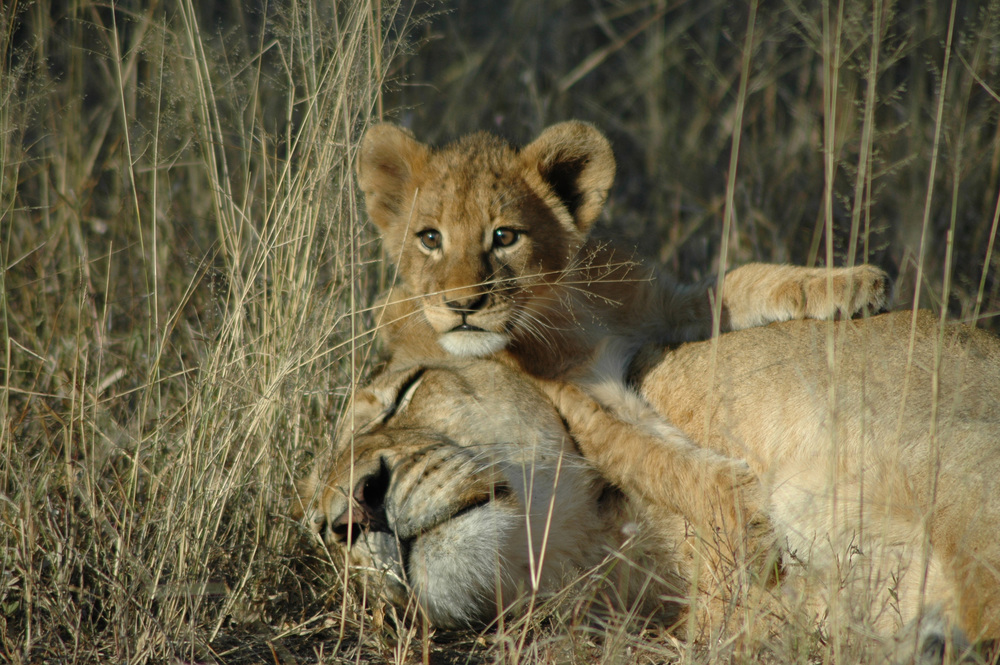 Lion-Sands---Lion-5.jpg