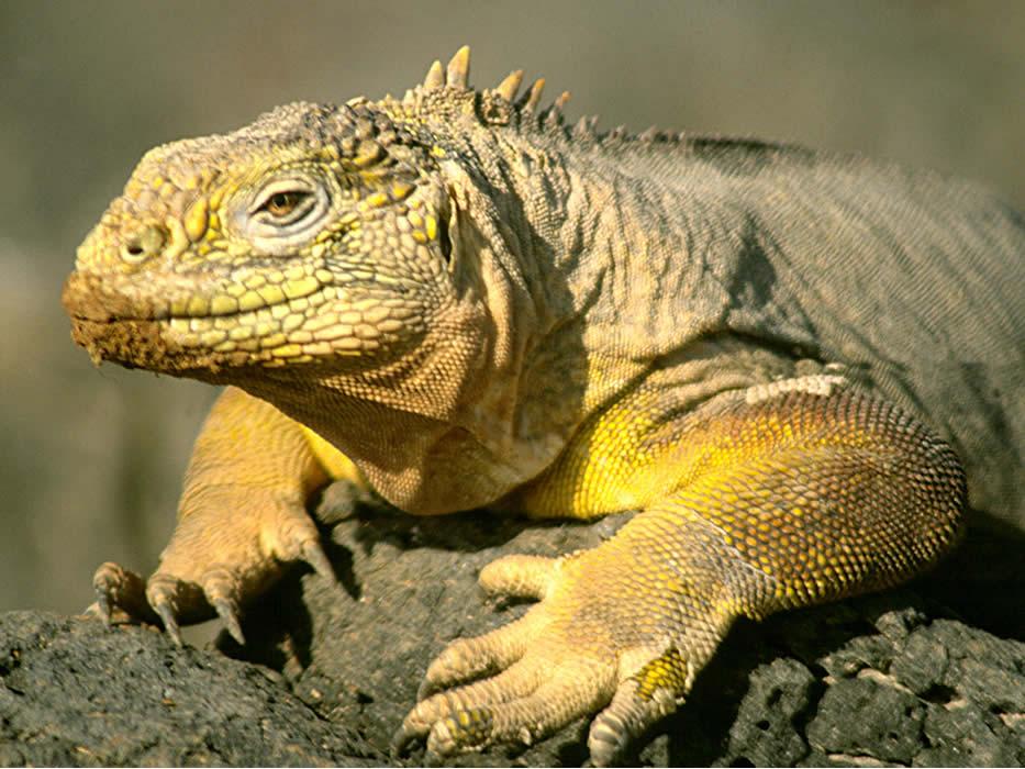 Galapagos-Finch-Bay-iguana.jpg