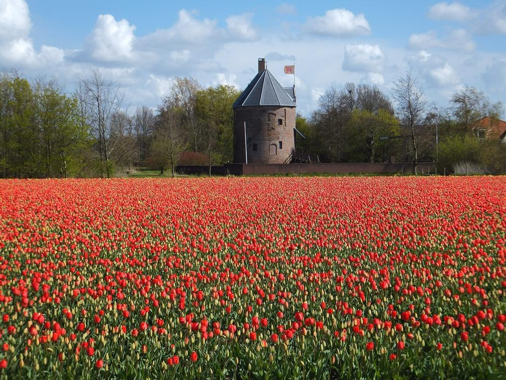 tulips-528536_1920.jpg