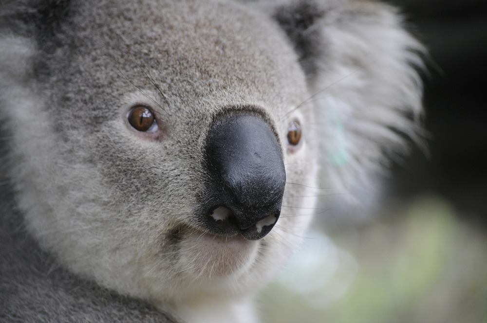 koala-630117_1920.jpg