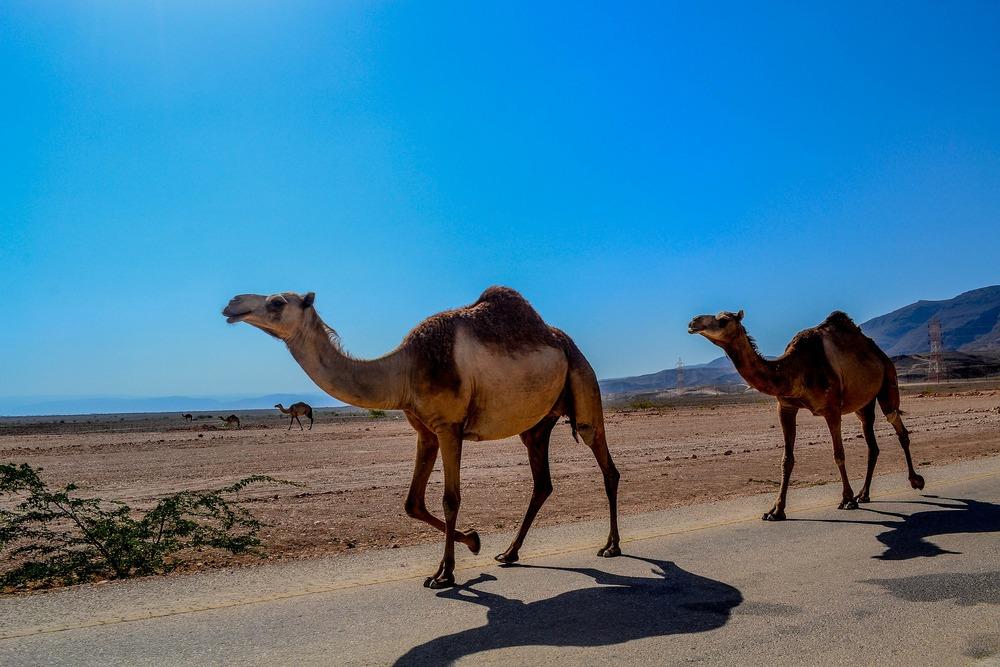 camel-468096_1920.jpg