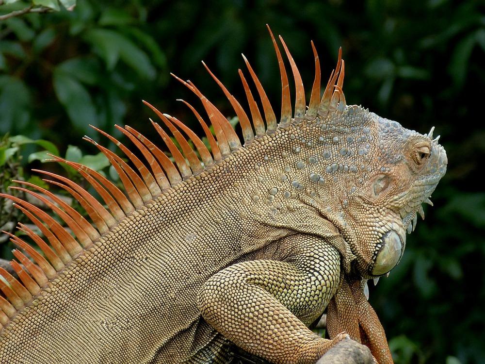 iguana-286669_1920.jpg