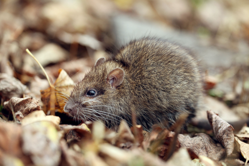 Rodent Being Tracked