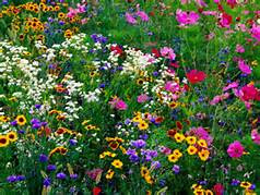 Wildflowers In The Woodlands, Texas