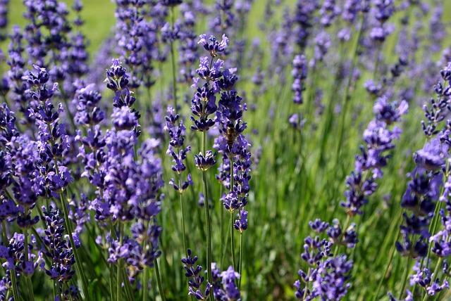 lavender-18316_640.jpg