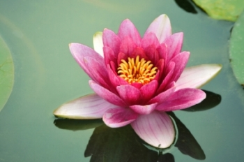 lotus-flower-II.jpeg