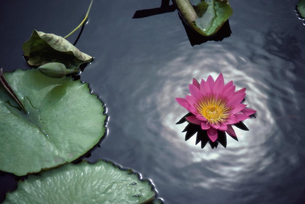 lotusonwater.jpg