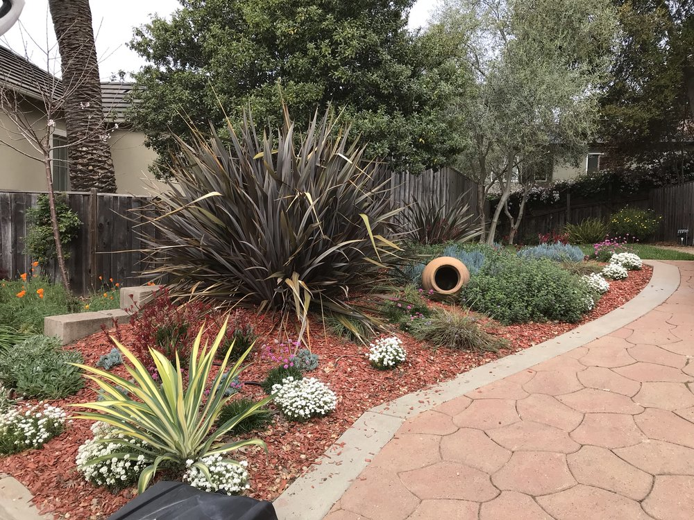 A house in the Oakland hills with full sun along both sides of the driveway. The client wanted to add color and interest with drought tolerant plants. BWG designed and installed this garden featuring kangaroo paw and blue chalksticks. The client requested red mulch to add more color.