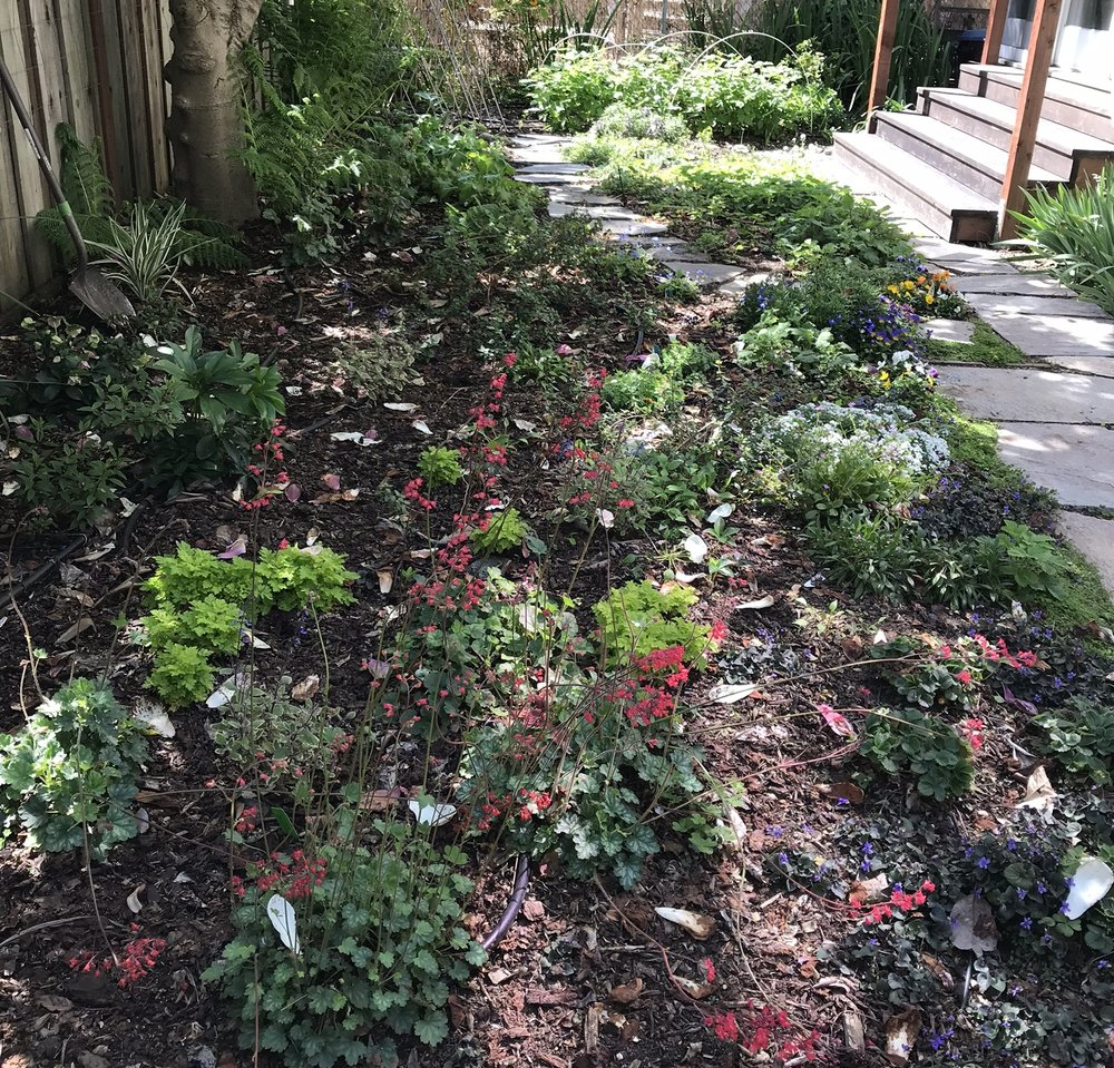 We removed an old patch of dying grass from this almost completely shaded yard in Berkeley, CA. Lauren designed a new landscape for the client keeping in mind that 95% of the yard was in deep shade.  The newly installed garden features vegetation in a variety of colors, sizes and blooming times. In the few sunny patches that do exist in the yard, we installed blueberry shrubs, strawberries and cooking herbs.  A complete drip irrigation system was put in place without undoing any existing, functioning irrigation piping. Mulch was added on top of all the yard to hide the irrigation lines and keep in moisture.