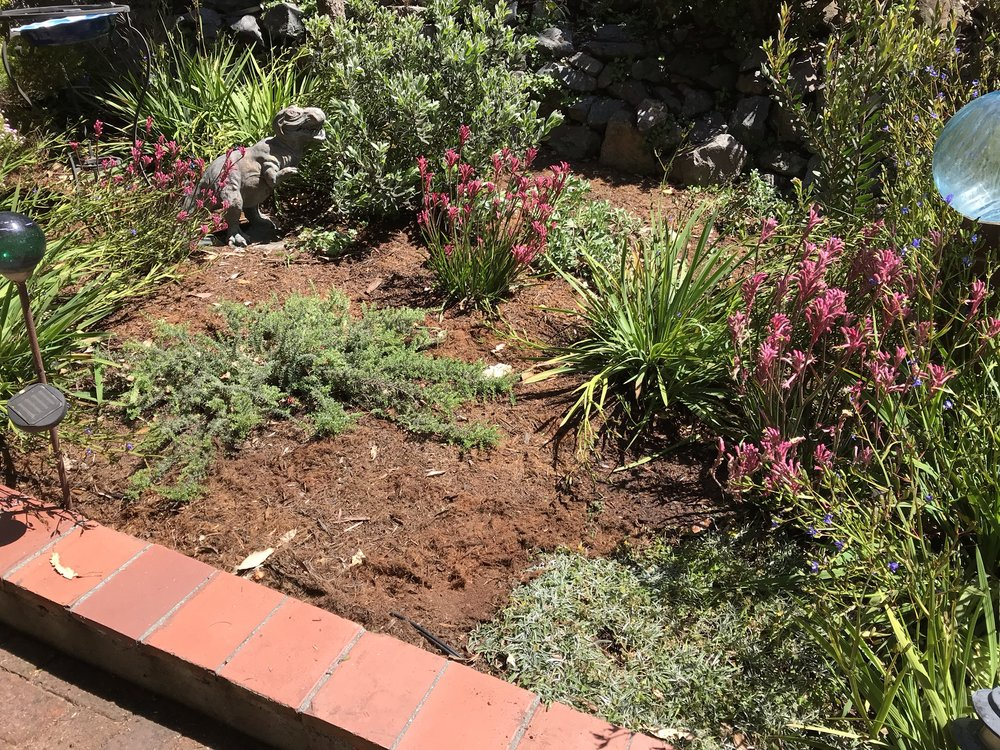 Bay Wise Gardens designed a planting that is beautiful and drought tolerant in this Pt. Richmond garden. Portions of the yard are exposed to high winds and salt spray from the bay. The plants chosen for these spots are adapted to harsh seaside conditions. Other sections of the garden include a cactus garden and an oak woodland plant community. After planting we installed drip irrigation and mulched on top of that to create a polished finish.