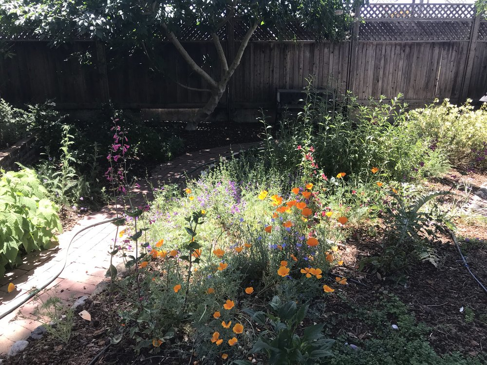This garden features all California Native plants and is in the Fruitvale region of Oakland, California.  Bay Wise performed a lawn replacement in a portion of this yard. The existing lawn was killed by stifling with black plastic over the summer. We amended the soil with rich compost and planted a design by Bay Wise Gardens which features all California Native plants that do well in Oakland. The install was completed with a drip irrigation system and a top layer of mulch.  Another aspect of this garden is a waterfall the client wanted to vegetate. Bay Wise designed a water loving planting for the borders of the waterfall mimics a riparian habitat along a creek in the Bay Area to give the garden a natural feel.
