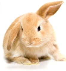 Lop-Ear-Bunny-Orange-One-Flopped-Ear.jpg