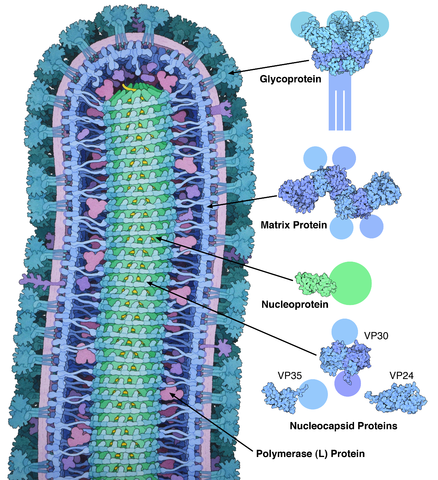 Cross-sectional drawing of the Ebola virus particle, with structures of the major proteins shown and labeled at the side. Pale circles represent domains too flexible to be observed in the experimental structure. Drawn by David Goodsell from PDB files 3csy, 4ldd, 4qb0, 3vne, 3fke, and 2i8b.