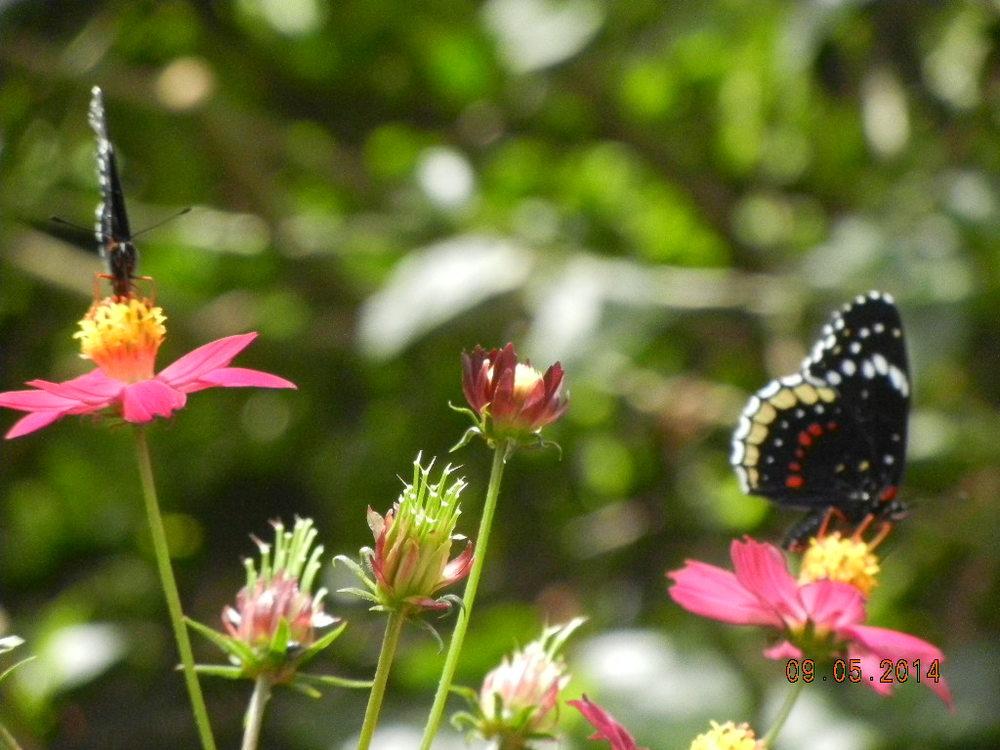 Butterflies - Eden Atenas garden