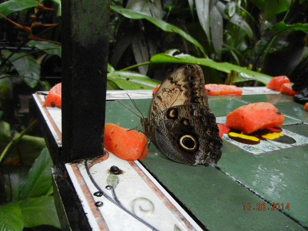 Butterflies love papaya