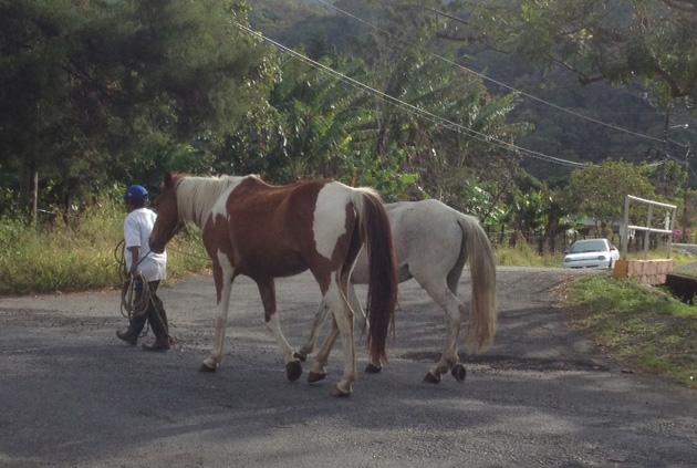 Boquete Horses.JPG