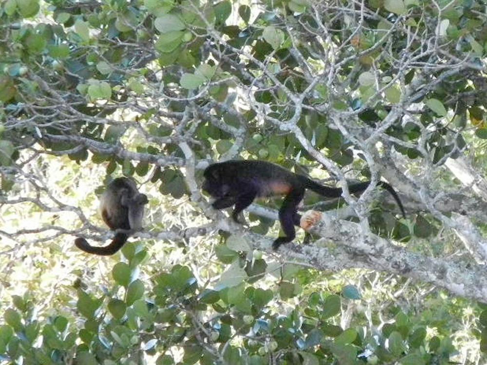 Howler Monkeys - LM condo (5).JPG