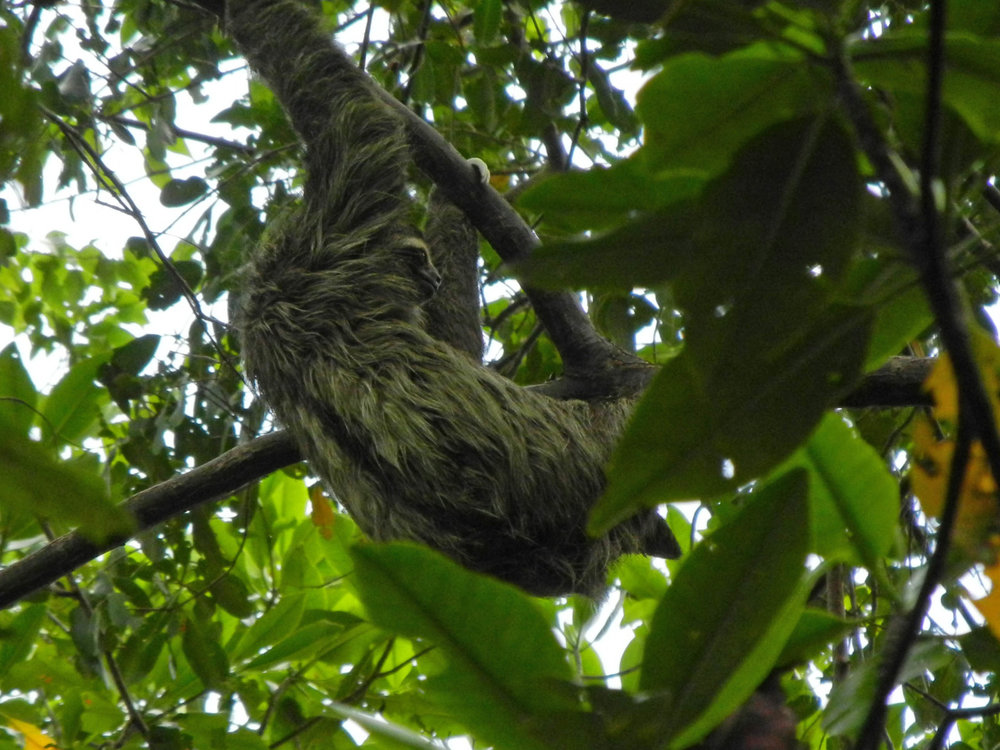 And another sloth in tree