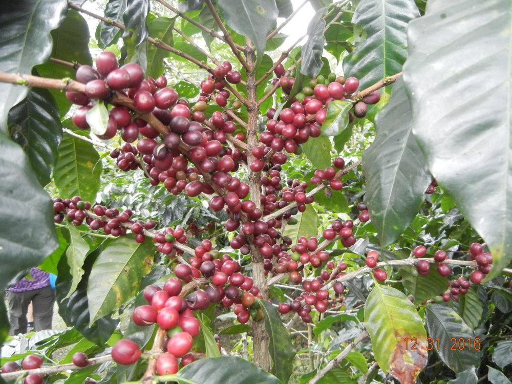 Coffee cherries - coffee bean is inside