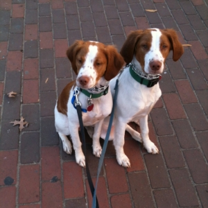 Brittany Spaniels - Henry & Ollie