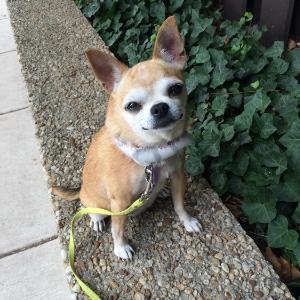 Chihuahua - Rita