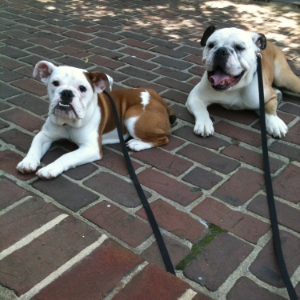 English Bulldogs - Lucy & Toby